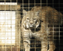 Breeding records destroyed at largest bobcat farm in the U.S.