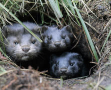 Leaked security alert #29: Unclaimed mink release in Minnesota